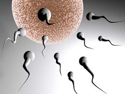 Где образуются сперматозоиды: продолжительность жизни