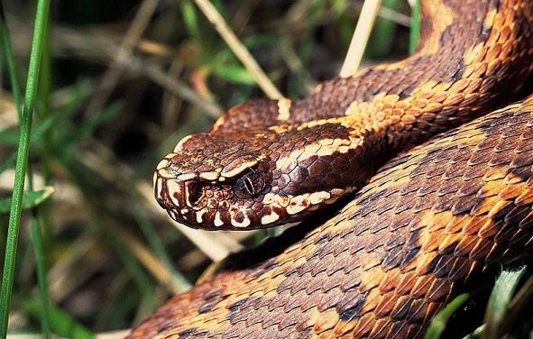 Если укусила змея гадюка, что делать, как удалить яд и какие слова «нашептать», чтобы выжить