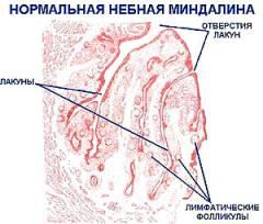 Строение миндалин человека