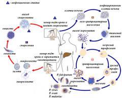 polismed.com, малярия, –, диагностика,, как, передается?, симптомы, и, лечение, малярии.,