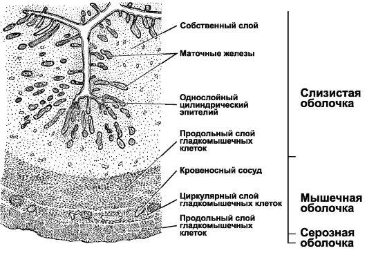 Биопсия шейки матки при молочнице