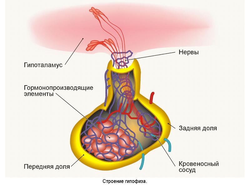 Что такое пролактин в гинекологии
